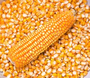 Желтая кукуруза/ кукуруза 1-го сорта (без ГМО)
