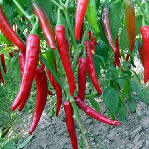 CHILI PEPPER/Chili in vietnam