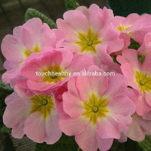Touchhealthy supply Red colour Begonia Tuberhybrida with 10-15 cm diameter flower 250gram/bags