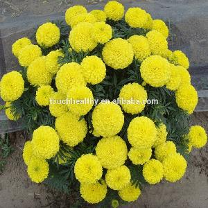 Touchhealthy supply yellow golden Marigold flower seeds for planting 10gram/bags