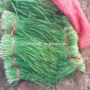 Touchhealthy supply Dark  green   leaves  Chinese chives seeds 500gram/bags