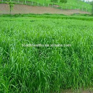 perennial ryegrass seeds forage seeds grass seeds is a high-quality forage  cattle ,  sheep , horses.