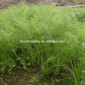 Touchhealthy supply hybrid fennel seed vegetable seed sweet taste, with a slightly lighter than cumin