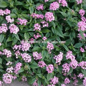 Red,purple,deep red ,White color F1 Hybrid Pentas Lanceolata seeds for Growing