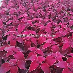 Touchhealthy supply colorful Coleus blumei seeds 5gram/bags