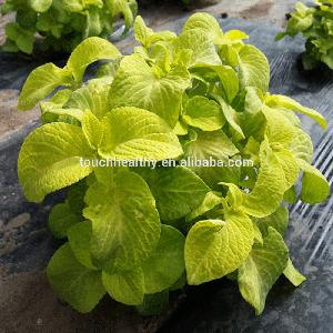 Touchhealthy supply High Germination Coleus blumei seeds with strong growth 5gram/bags