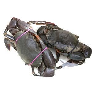 Live Mud Crab wholesaler