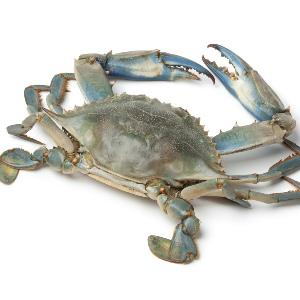 Blue Crab Sea crab