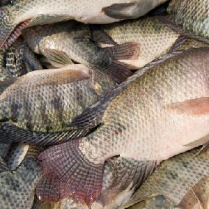 Frozen Tilapia Factory, Tilapia Fish Price, Tilapia Bream  betta fish thailand