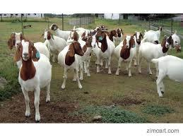 Full Blood Boer Goats, Live Sheep,  Cattle , Lambs and Cows