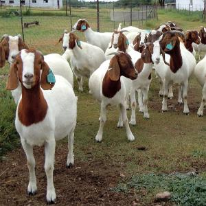 Grade A Full Blood Boer Goats, Live Sheep, Cattle, Lambs and Cows for sale