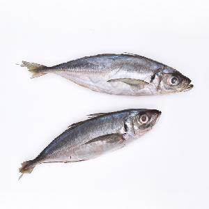 New Stock Good Quality  Frozen   Fish   Horse   Mackerel