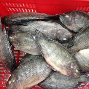 Whore Round Frozen Black Tilapia Fish With Top Quality