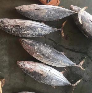 Frozen whole skipjack  tuna   price