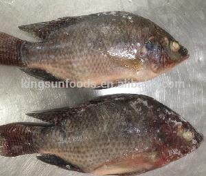 Frozen Farmed Raised W/R Tilapia Fish For sale