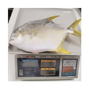 fish product type and IQF freezing process frozen golden pompano fish