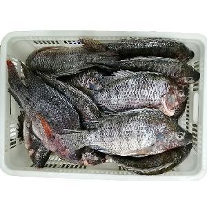 aquaculture farm raised whole round gutted scaled frozen black tilapia oreochromis niloticus for usa/uk/europe