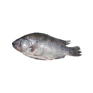 bulk pack frozen scaled gutted WGS  black   tilapia