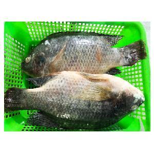 Frozen   Whole   Round   Tilapia  Fish Supplier