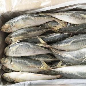 Horse Mackerel / Fresh Frozen Mackerel fish 400-600g for sale