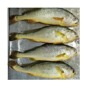 Frozen Yellow Croaker fish with All Size
