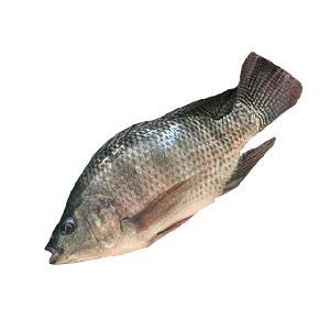 IQF black whole round fish tilapia