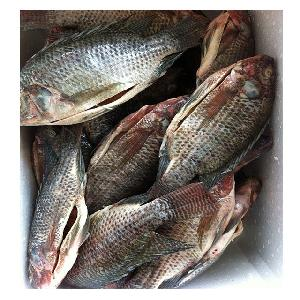 Frozen Gutted Scaled Tilapia Processed by Live Fish