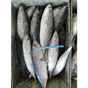 small size frozen whole round bonito tuna fish for sale