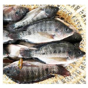 800-1000g WR fresh frozen Black Tilapia fish