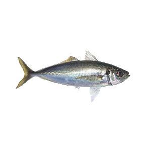big  size  frozen  pacific  mackerel  fish 300-500g