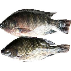 2020 new 24m frozen whole round fresh tilapia (orechromis niloticus)
