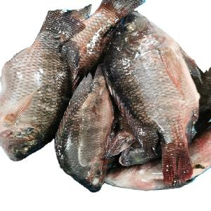 Export fresh frozen whole black tilapia fish farming wholesale product with best supplier