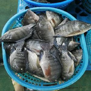 Whole Round Fresh Exotic Seafoods of Frozen Tilapia From Chinese Companies