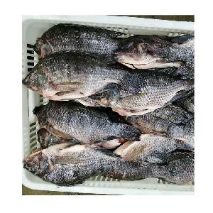 Sanitary Production Frozen Gutted Scaled Tilapia Whole GS Fish 550-750g
