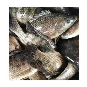 Fresh Frozen WR Tilapia Whole Round Fish 200-300 Supplier
