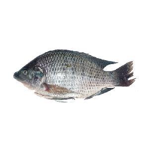Oreochromis Niloticus Fresh  Frozen Tilapia Whole Round Hot Sale