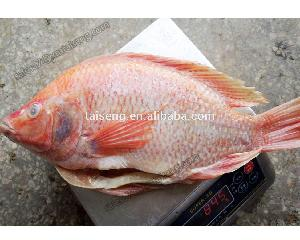 China Origin Frozen Whole Round Red Tilapia Fish