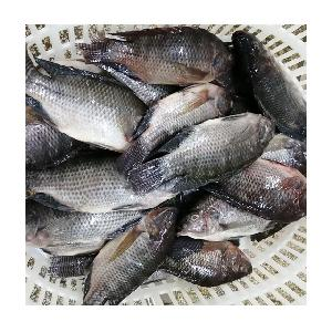 Cheap Frozen Whole Round Fresh Exotic Black Tilapia Fish
