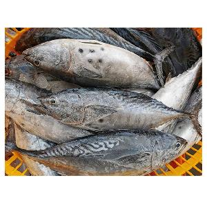 New Stock Seafrozen whole Bonito Tuna Fish 750Gup