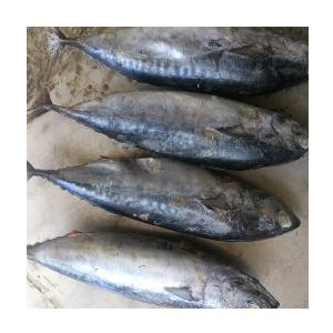 Frozen Bonito Fish Whole Round Bonito Tuna For Sale