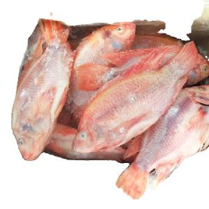 Frozen Red Tilapia fish whole round for sale
