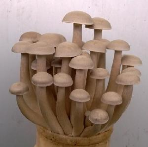 125g pack Organic Fresh Hatake Mushrooms Delicious Hatake