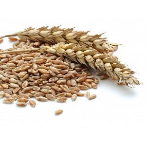 Dried style russian organic wheat