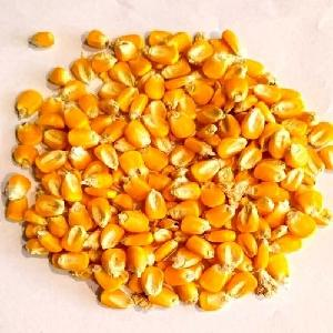 Ukraine Dry Maize/Dried Yellow Corn/Dried Sweet Corn Best Price