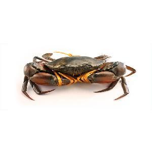Live Mud Crabs In Bulk, baby mud crabs, live red mud crabs