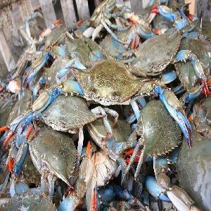 Best Selling Products Fresh Frozen Blue Swimming Crab and live crabs