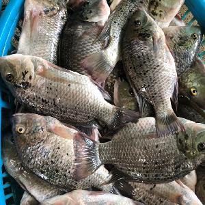 Frozen tilapia Frozen Tilapia Fish Farm, Tilapia Bream 100-200g, 200-300g,300-500g,500-800g