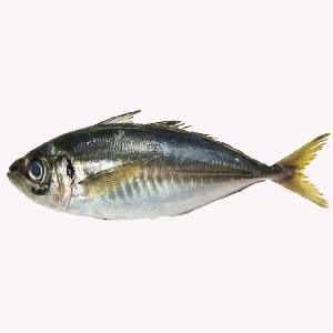 Frozen Yellow Tail Horse Mackerel Fish For Sale