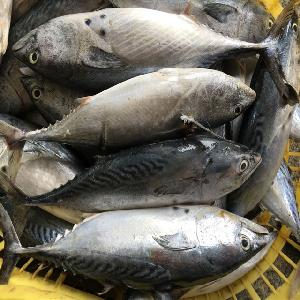 frozen bonito skipjack tuna whole round price sale