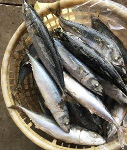 Fresh Frozen Seafood Pacific Mackerel  Whole   Round   Scomber   Japonicus
